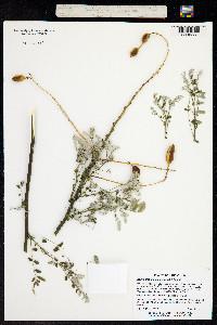 Image of Styphnolobium japonicum