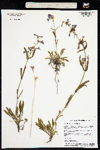 Penstemon aridus image