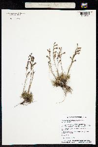 Image of Penstemon laricifolius