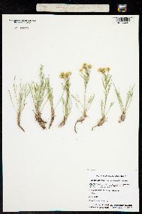 Picradenia richardsonii image