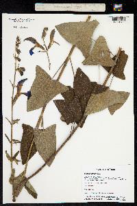 Image of Salvia patens