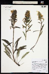 Pedicularis canadensis ssp. fluviatilis image