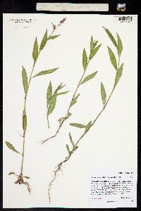 Persicaria maculata image