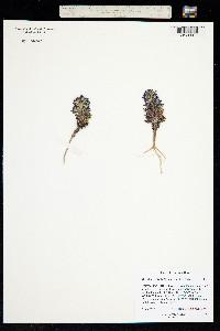 Aliciella sedifolia image