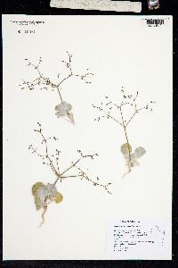 Image of Eriogonum brachypodum