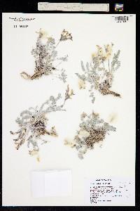 Image of Astragalus utahensis