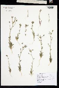 Image of Gilia modocensis