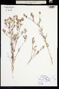 Cordylanthus capitatus image