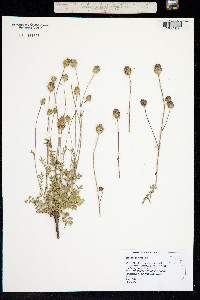 Sanguisorba minor image