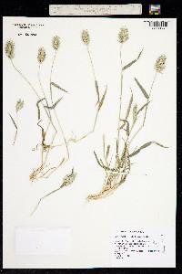 Image of Eremopyrum bonaepartis