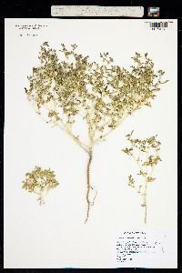 Image of Chorisiva nevadensis