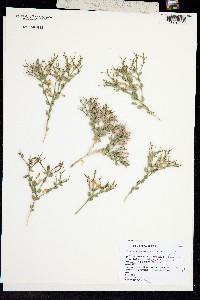 Image of Polygala heterorhyncha