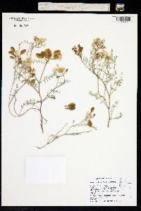 Image of Astragalus whitneyi