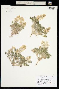 Image of Lupinus malacophyllus