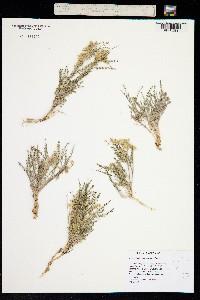 Image of Astragalus johannis-howellii