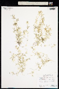 Image of Linanthus laxus