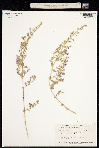 Image of Loeselia greggii