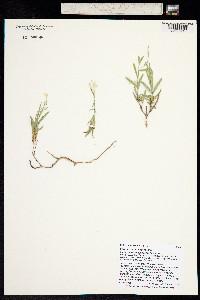 Image of Phlox cluteana