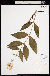 Image of Phlox amplifolia