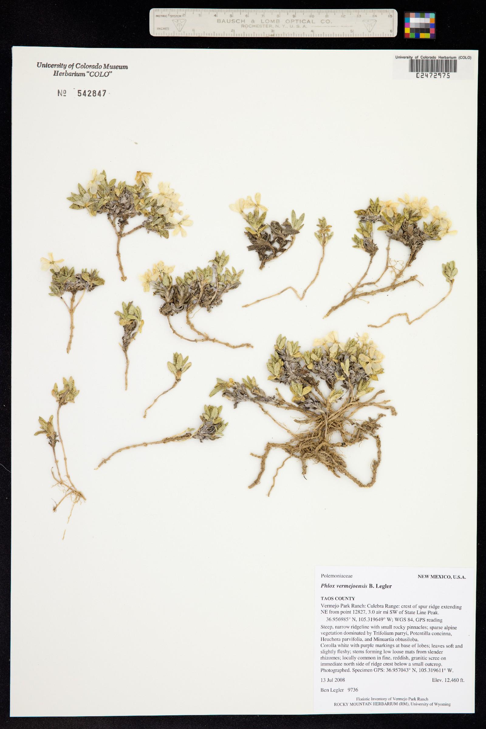 Phlox vermejoensis image